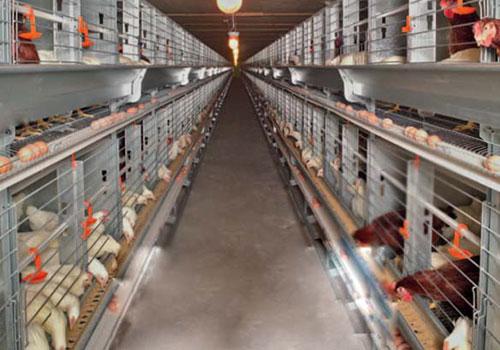 клетки для кур несушек на птицефабрике