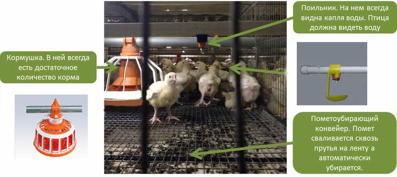 цыплята бройлеров в клетках
