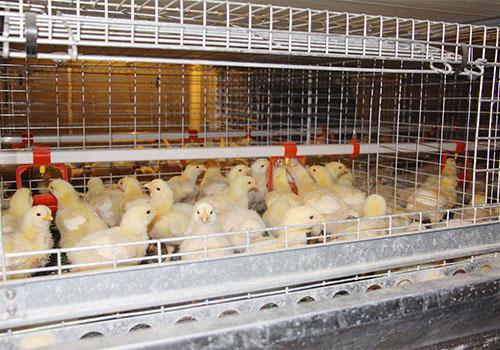 Содержание цыплят в клетках