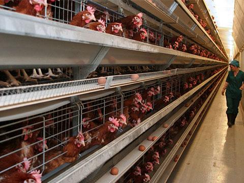 как содержать кур несушек на птицефабрике