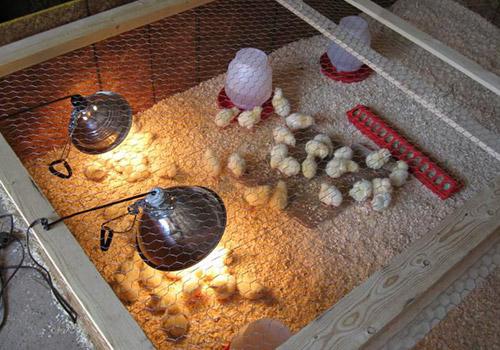 Температурный режим в курятнике для цыплят